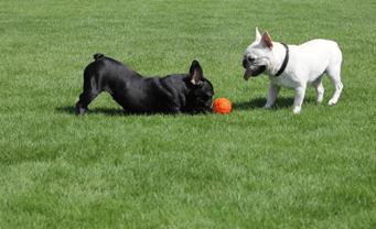 ブリーダーさんの犬舎でフレンチブルドッグの子犬の見学が出来ます
